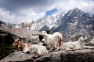 Cashmere goats in the mountrains
