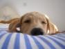 bigstockphoto_Golden_Labrador_388512